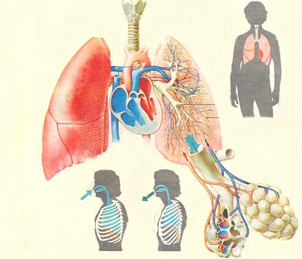 Akciğerlerin Yapısı