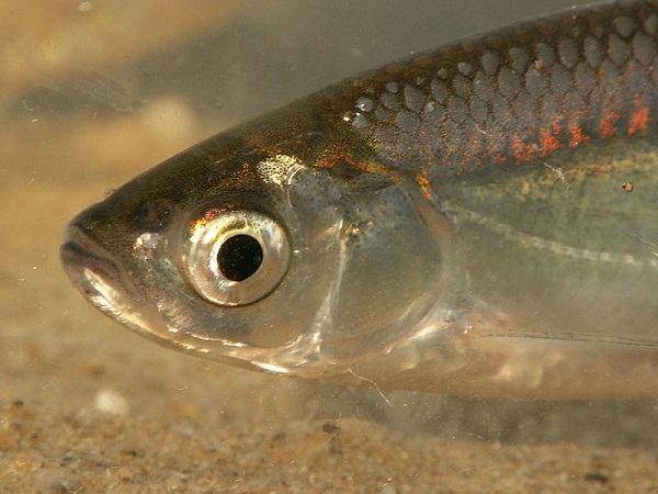 İnci Balığı