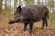 yaban-domuzu