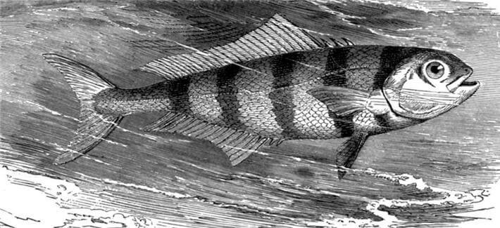 Kılavuz Balığı