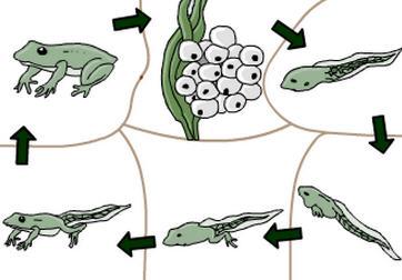 Başkalaşım - Kurbağa