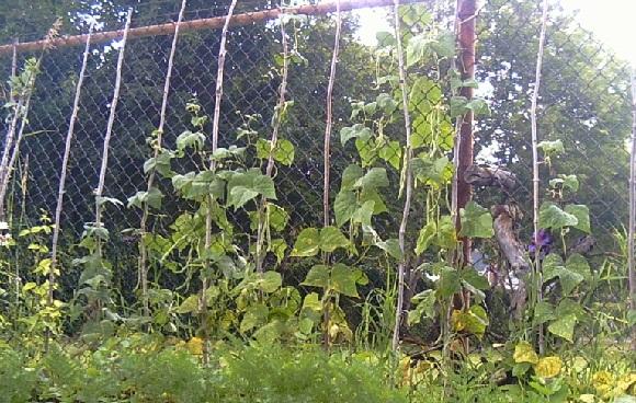 Fasulye'lerin dikilmiş olduğu bir bahçeden görünüm