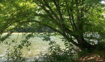 Amerikan gürgen ağacı