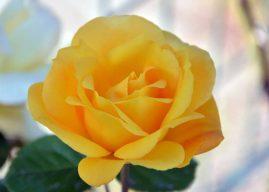 Gül Nasıl Bir Çiçektir? Gül Çiçeğinin Özellikleri Cinsleri Bakımı Hakkında Bilgi