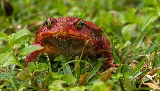 Domates Kurbağası