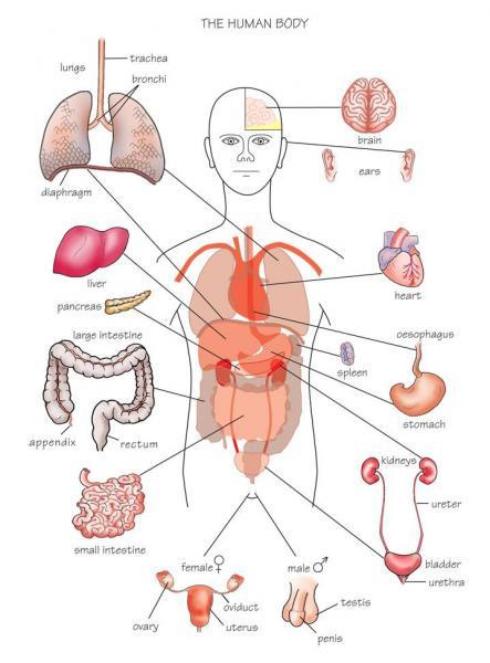 İngilizce Organ Şemaları
