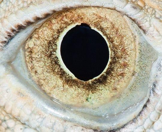 Yakın Çekim Hayvan Gözleri