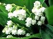 inci çiçeği