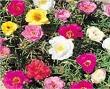 ipek çiçeği