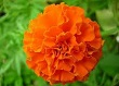 kadife çiçeği