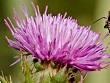 kangal çiçeği