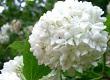 kartopu çiçeği