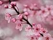 Kiraz çiçeği
