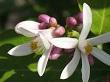 limon çiçeği