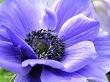 mavi-anemon-cicegi