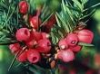 porsuk çiçeği