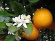 portakal-cicegi