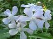 sabun çiçeği