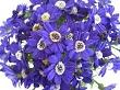Sindrella Çiçeği