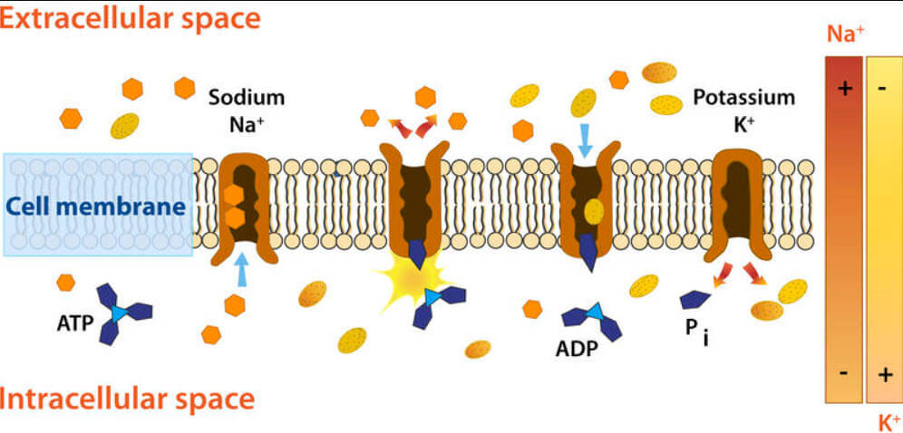 Sodyum-Potasyum Pompası
