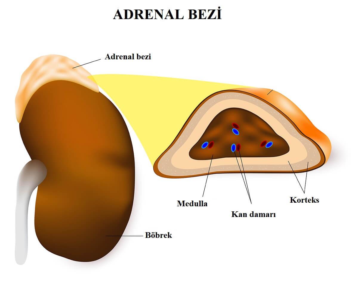 adrenal bezi yapısı