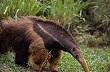 anteater