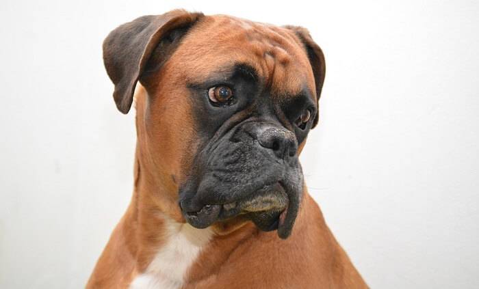 Boksör (Boxer)