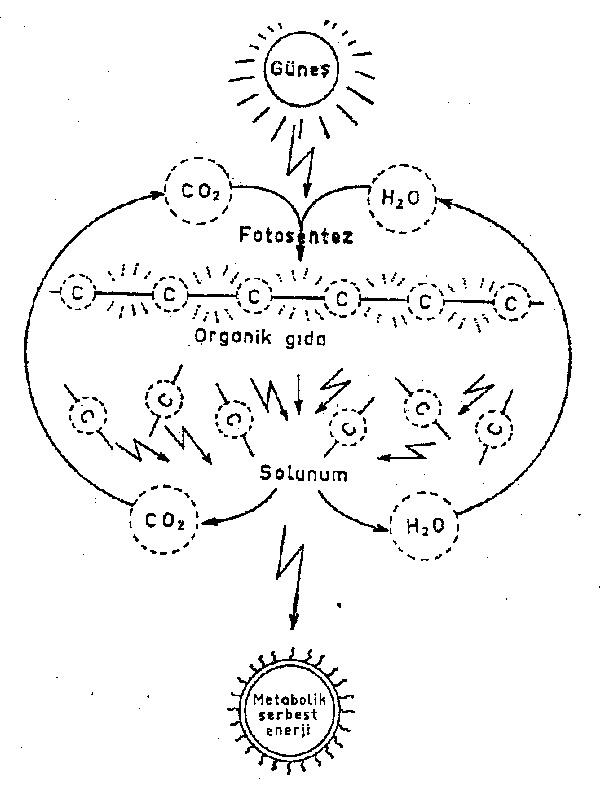 fotosentez-solunum