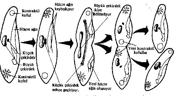 paramecium-uremesi