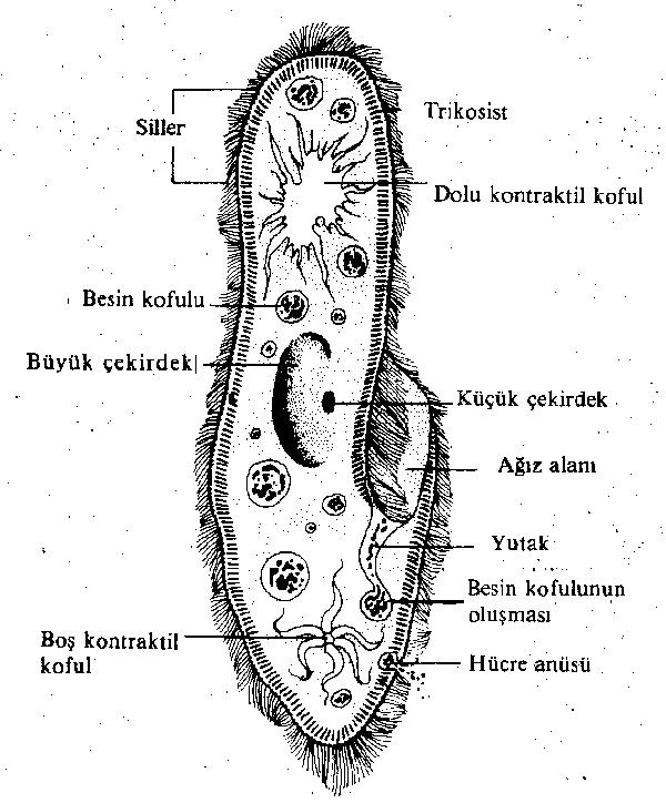 paramecium-yapisi