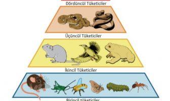trofik düzey piramidi