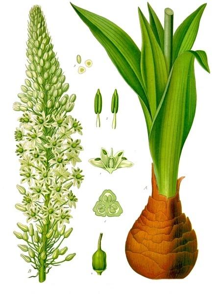 Ada Soğanı (Drimia Maritima)