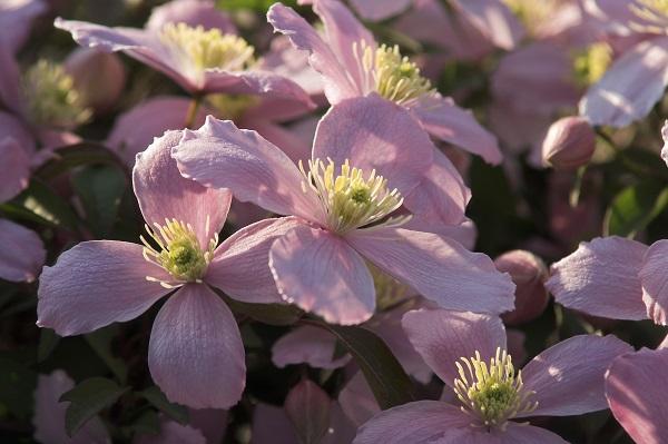 Akasma Çiçeği