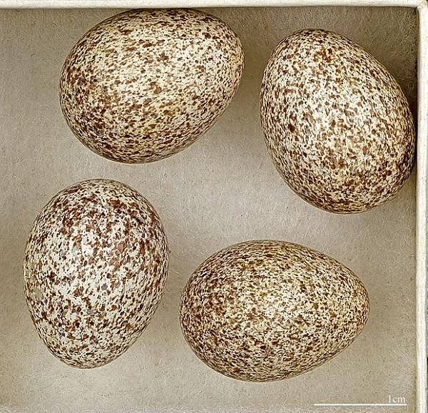 Ağaççıltarlakuşu (Orman Toygarı) Yumurtaları