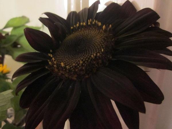Siyah Ayçiçek