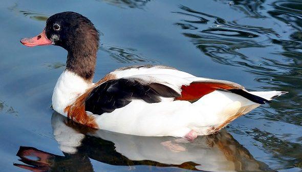 Al Kuşaklı Ördek