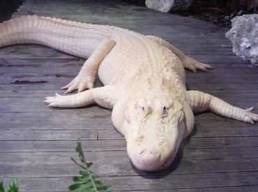 Albino Timsah