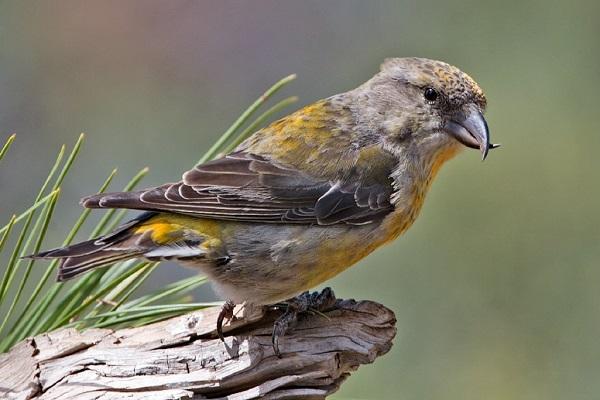 Çaprazgaga Kuşu