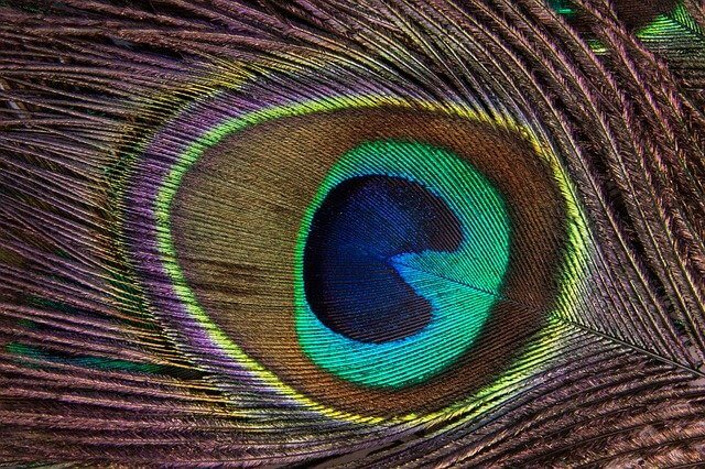 Tavuskuşu Tüyü