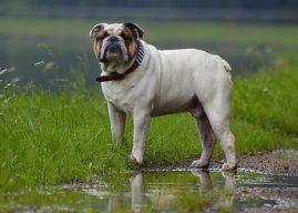 Bulldog Cinsi Köpeklerin Genel Özellikleri, Hakkında Bilinmesi Gerekenler