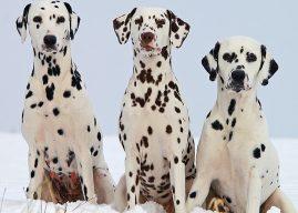 Dalmaçyalı Cinsi Köpeklerin Genel Özellikleri, Hakkında Bilinmesi Gerekenler