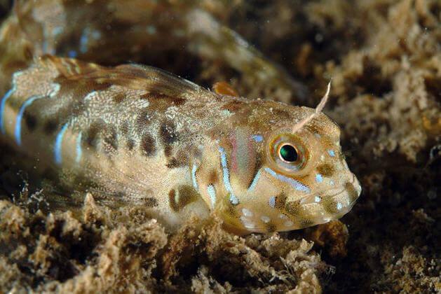 horozbina balığı