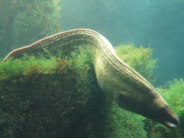 Murana Balığı