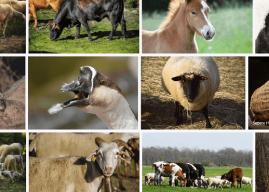Hayvancılık Nedir? Neden Yapılır, Neden Önemlidir? Hakkında Bilgi
