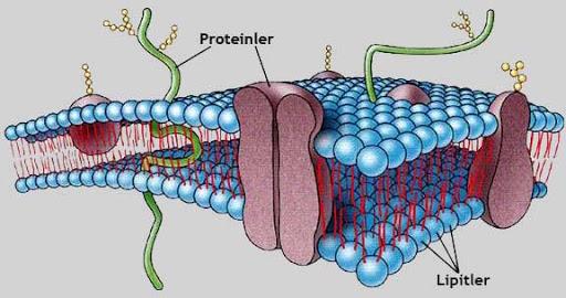hücre zarı