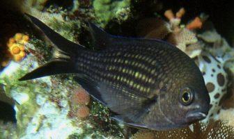Papaz Balığı