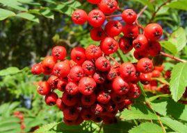 Şifa Deposu : Üvez Meyvesi Nasıl Bir Meyvedir? Faydaları Nelerdir?