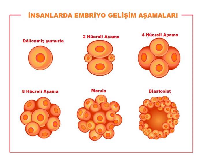 Embriyonun Gelişimİ