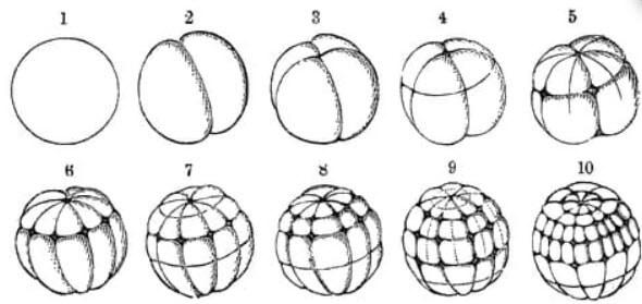 embriyo aşamaları