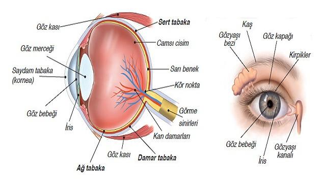 gözün yapısı